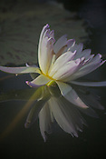 Photo by Leandra of purple tipped water lily  and its reflection in pool.