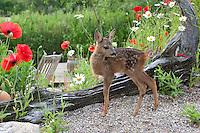 Rehkitz, Reh-Kitz, verwaistes, pflegebedürftiges Jungtier wird in menschlicher Obhut großgezogen, Kitz im Garten, Tierkind, Tierbaby, Tierbabies, Europäisches Reh, Ricke, Weibchen, Capreolus capreolus, Roe Deer, Chevreuil