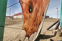 Seal skins dry on a stretcher in Utqiagvik (Barrow), Alaska.