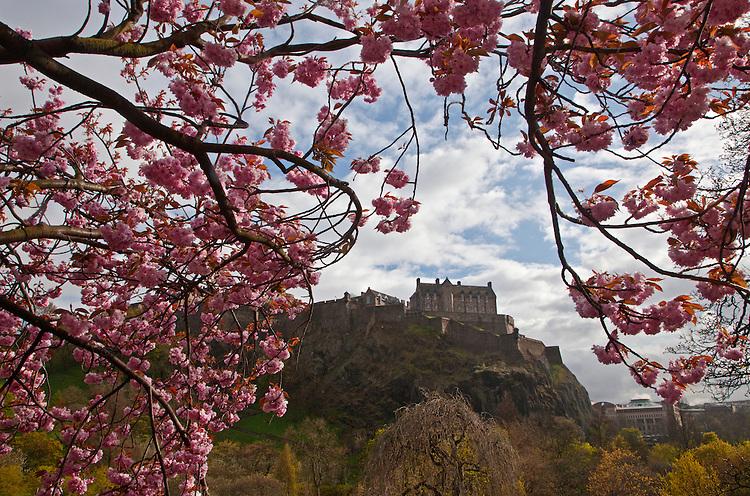 A cherry blossom tree (Prunus) in full bloom frames the Edinburgh Castle in spring in the West Princes Street Garden in Edinburgh, Scotland, United Kingdom