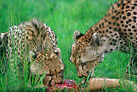 615004056 a mother and young cub acinonyx jubatus feed on a thompsons gazelle on an open plain in masai mara reserve in kenya