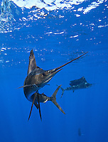 qh1404-D. Atlantic Sailfish (Istiophorus albicans). Note some consider this to be the same species as the Indo-Pacific Sailfish (I. platypterus). Mexico, Gulf of Mexico..Photo Copyright © Brandon Cole. All rights reserved worldwide.  www.brandoncole.com..This photo is NOT free. It is NOT in the public domain. This photo is a Copyrighted Work, registered with the US Copyright Office. .Rights to reproduction of photograph granted only upon payment in full of agreed upon licensing fee. Any use of this photo prior to such payment is an infringement of copyright and punishable by fines up to  $150,000 USD...Brandon Cole.MARINE PHOTOGRAPHY.http://www.brandoncole.com.email: brandoncole@msn.com.4917 N. Boeing Rd..Spokane Valley, WA  99206  USA.tel: 509-535-3489