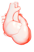 A lateral view (right side) of the heart. Royalty Free