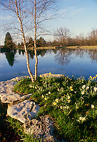 Jonquils and river birch grow next pond, Midwest USA