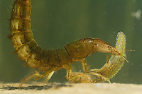 Diving Beetle larva (Dytiscus marginalis) eating the larva of a Great Crested Newt (Triturus cristatus).