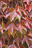 Parthenocissus tricuspidata in autumn color