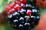 Foto: VidiPhoto<br /> <br /> SLIJK-EWIJK - Fruitteler en bestuurslid van de Nederlandse Fruittelers Organisatie (NFO) Frederik Bunt uit Slijk-Ewijk in de Betuwe, toont woensdag rot fruit, veroorzaakt door de zogenoemde suzuki-fruitvlieg. Nederlandse fruittelers staan aan de vooravond van een ramp die vele malen groter dreigt te worden dan de boycot door Rusland. Waar de gewone fruitvlieg zich alleen op aangetast fruit stort, legt de suzuki-fruitvlieg juist z'n eitjes in vers (zacht) fruit, waardoor het rottingsproces versnelt. De suzukivlieg is pas in 2012 voor het eerst gesignaleerd in Nederland, maar heeft zich nu al over het hele land verspreid. Omdat minister Kamp van EZ kersen- en pruimentelers weigert een biologisch bestrijdingmiddel te laten gebruiken dat in andere EU-landen wel is toegestaan, dreigt de plaag nu over te slaan naar de gehele fruitsector. De suzuki-fruitvlieg komt via importfruit uit Spanje ons land binnen. Foto: De suzuki-fruitvlieg aan het werk.