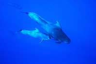 short-finned pilot whale mother and calf, Globicephala macrorhynchus, Big Island, Hawaii, Pacific Ocean