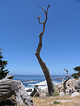 Dead Cypress Tree Trunk in Pebble Beach, 17-Mile Drive, California, USA