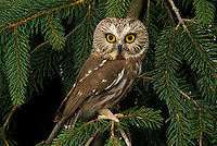 Northern Saw-whet Owl (Aegolius acadicus), hunting