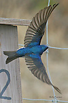 Birds of North America, tree swallow, tachycineta bicolor