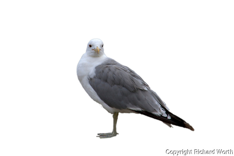 A California gull at Pescadero State Beach, California in a cut out for web or graphic design.