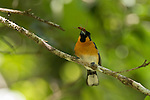 Spectacled monarch with a cicada in its beak. The spectacled monarch (Symposiachrus trivirgatus) is a species of bird in the Monarchidae family. The Spectacled Monarch feeds on insects, foraging mostly below the canopy in foliage and on tree trunks or vines.