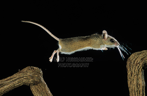 White-footed Mouse, Peromyscus leucopus, adult jumping, Sinton, Texas, USA
