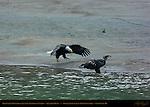 Bald Eagle Pouncing on Juvenile Feeding on Salmon, Squamish River, Brackendale Eagles Provincial Park, Vancouver, British Columbia