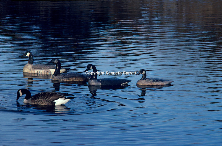 Duck Decoy book. Floater's and Stick Ups, p.34, Canada Geese