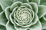 Succulent plant, showing radial pattern, Lesvos Island, Greece  , lesbos