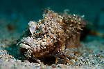 spiny devilfish ( Inimicus didactylus ), covered in sand, Bunaken National Park, Sulawesi, Indonesia