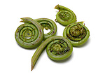 Fiddlehead Fern still life.