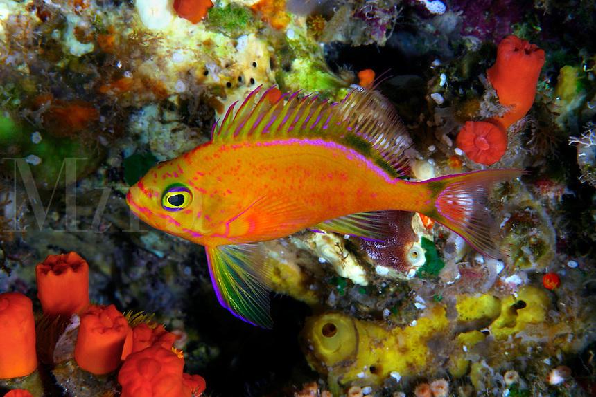 Deepwater anthias holanthias fuscipinnis hawaii fish for Rare saltwater fish