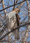 A Red Tailed Hawk sits high in a tree scanning the surrounding winter landscape for a potential meal