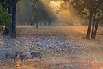 Chital, Bandhavgarh National Park, Madhya Pradesh, India