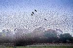 Central Africa, red-billed quelea (Quelea quelea), black kite (Milvus migrans),