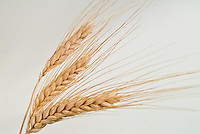 Barley, cereal grain, dried sheaf, Hordeum vulgare, grass family, harvested, sheaves on neutral background