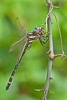 390030014 a wild arrowhead spiketail dragonfly cordulegaster obliqua perches on a stick eating a bug at big creek scenic area jasper county texas united states
