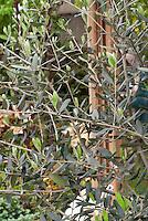 Olea europea olive tree