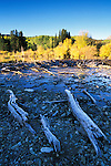 Morning light on autumn aspens and frosty logs along Ruby Anthracite Creek, Gunnison National Forest, Colorado