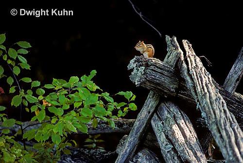 MA02-005z  Eastern chipmunk - on fence - Tamias striatus