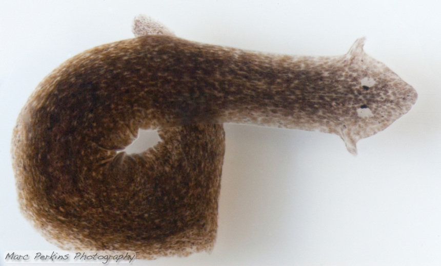 A brown speckled planarian {Dugesia tigrina} turning in a circle on a white background.  The planarian's eye spots (ocelli) and auricles are plainly visible on its head.  The tail of the planarian is looped under the middle of the body, forming a circle.
