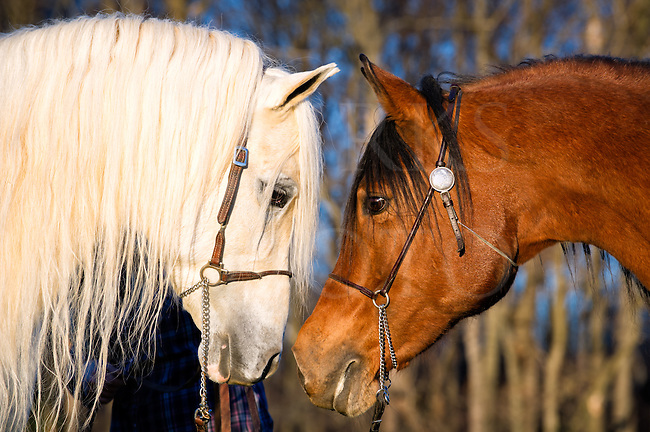 Two horses looking at each other face to face, eye to eye, Arabian stallion and mare in close up side view. Concept image for togetherness, bonding, confrontation, or relationship issues.