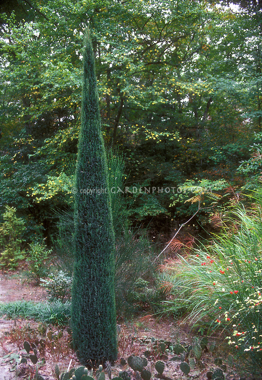 Rocky Mountain Juniper, upright Juniperus scopulorum Skyrocket, a tall and narrow evergreen in the garden, columnar thin tree bush
