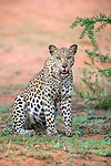 Leopard (Panthera pardus) female, Kgalagadi Transfrontier Park, Northern Cape, South Africa, February 2016