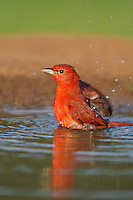580980044 a wild male summer tanager pitanga rubra bathes in a small pond on the laguna seca ranch in the rio grande valley of south texas