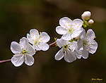 Wild Crab Apple blossoms. Smoky Mountain photos by Gordon and Jan Brugman.
