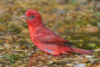 580980048 a wild male summer tanager pitanga rubra bathes in a small pond on south padre island cameron county texas united states