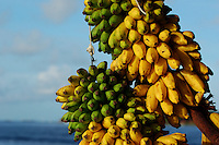 Bunches of bananas, Maldives.