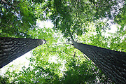 Canopy of mature northern red oak trees during the summer months in the area of the Deer Brook drainage of Albany, New Hampshire USA. This area is part of the proposed Northeast Swift Timber Project