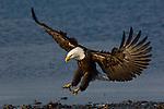 A bald eagle landing on the shore at Homer, Alaska.