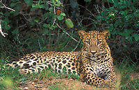 Leopard in Wilpattu National Park,