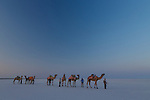 Camel train on the Rann of Kutch, India