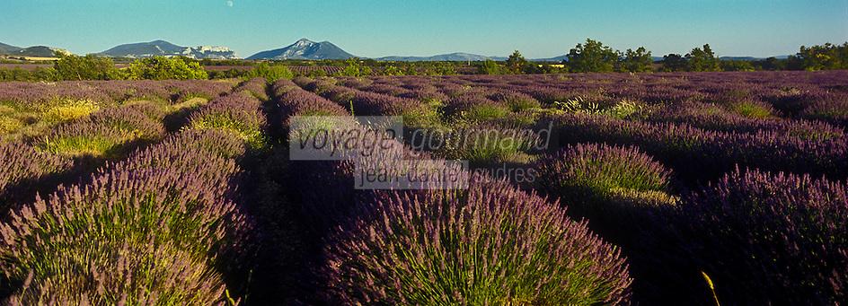 Europe/France/Provence-Alpes-Cote d'Azur/04/ Alpes de Haute-Provence/Env de Puimoisson: Champ de Lavande sur le Plateau de Valensole