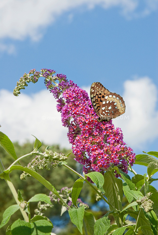Butterfly Bush Buddleja davidii aka Buddleja davidii 'Bicolor' against blue sky and clouds and Butterfly Silver-bordered Fritillary