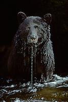 Black Bear (Ursus americanus) in stream (waiting for a salmon) , Pacific Northwest.