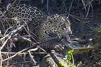 Jaguar (Panthera onca) with Caiman kill, Pantanal, Brazil
