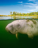 Florida manatee, Trichechus manatus latirostris, calf and marshland, over-under picture, endangered subspecies of the West Indian manatee, Kings Bay, Crystal River, Florida, USA, Gulf of Mexico, Caribbean Sea, Atlantic Ocean