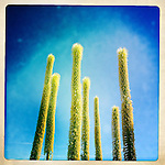 Utah agave, Borrego Springs, California, USA.